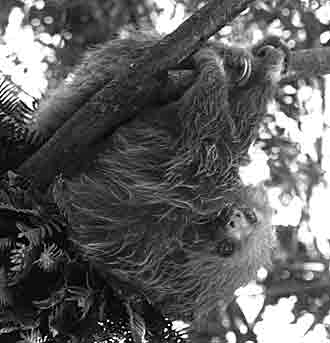 In Costa Rica, a two-toed sloth hangs lazily in a tree.